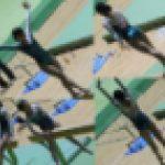 体操JK 体操競技選手権大会 女子平均台【動画】スポーツ編 3作品セット販売 3605 3601 3604